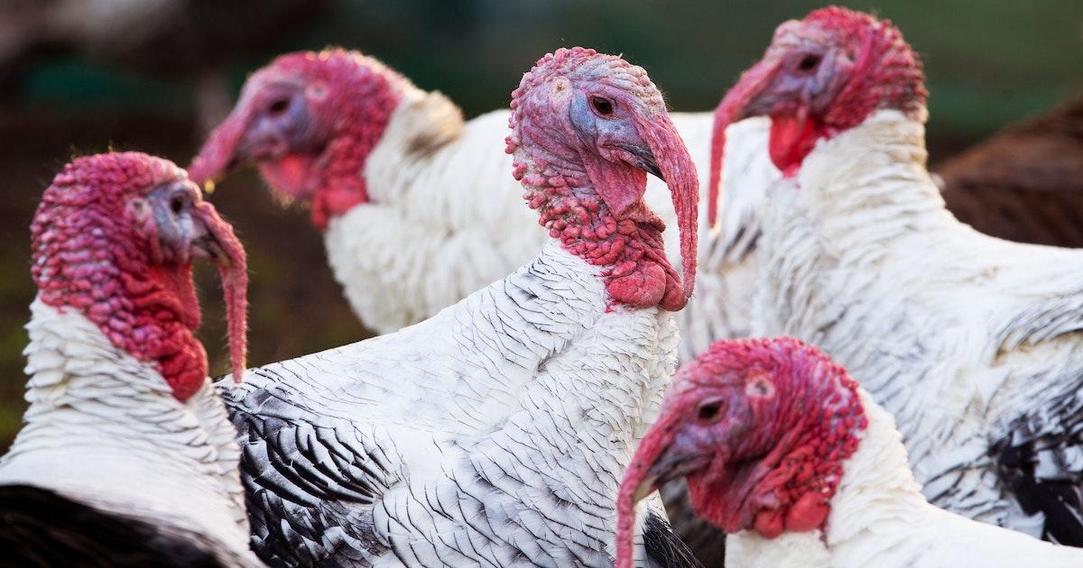 Vogelgrippe: Tausende englische Truthähne sollen gekeult werden