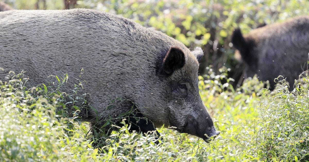 Wildschweinjagd - jetzt sprechen Jäger