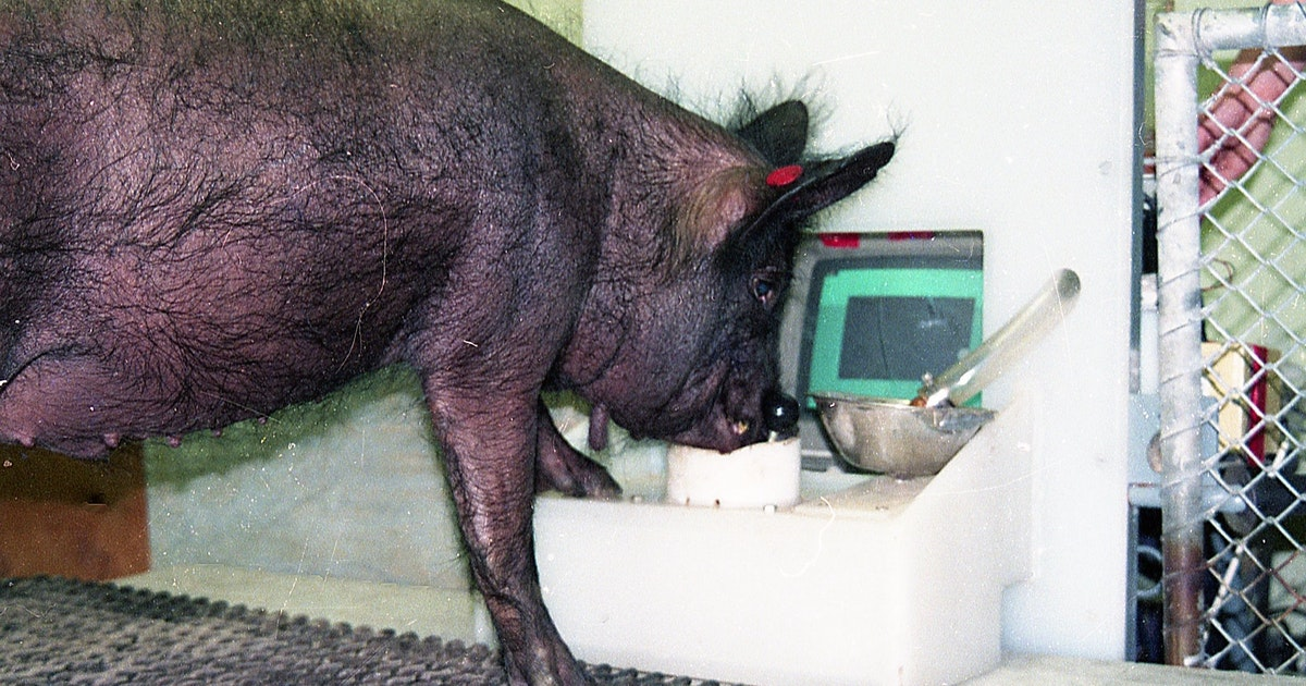 Saustark: Schweine können auch ein bisschen zocken - Berliner Zeitung