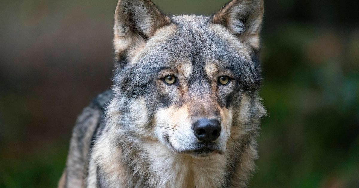 Brandenburg: Polizei geleitet Wolf über Autobahn