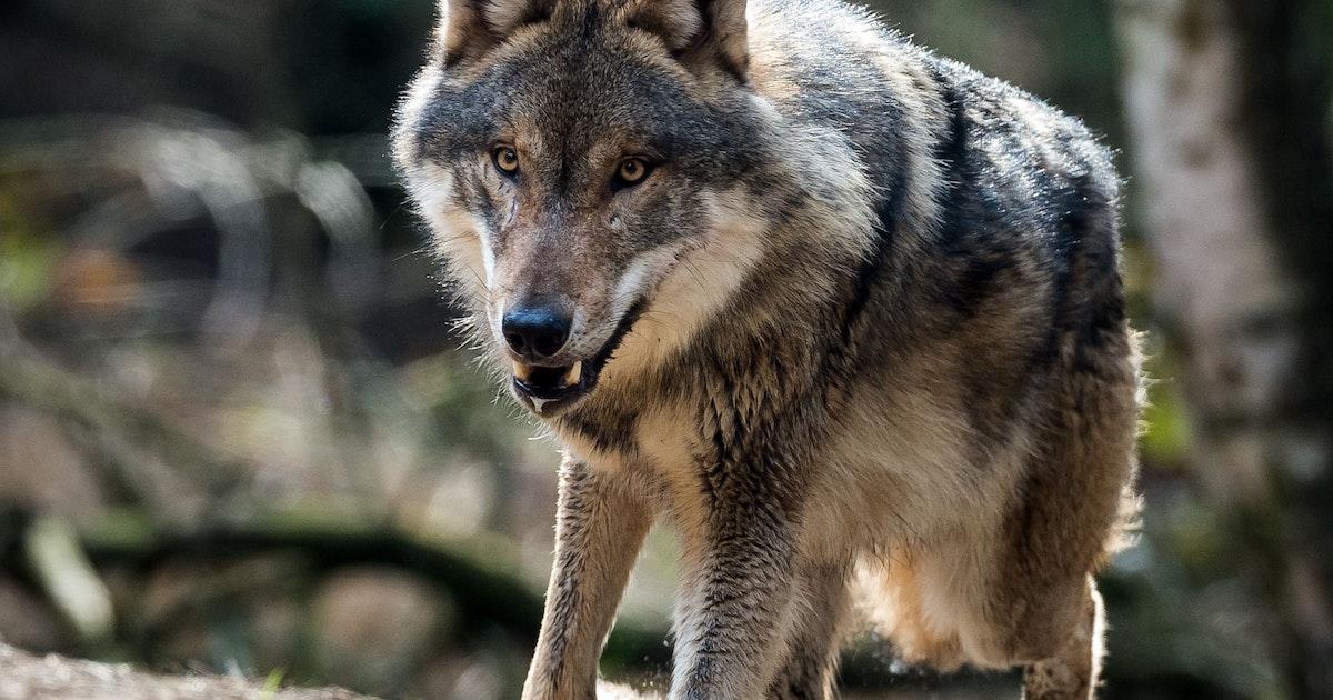 Lebensgefahr-Spazierg-ngerin-trifft-auf-Wolf-dann-spielen-sich-dramatische-Szenen-ab